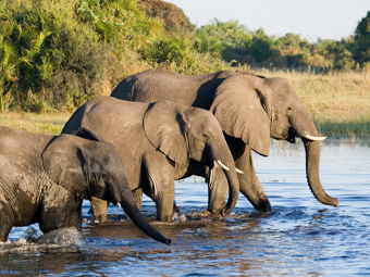 Elephants crossing Zambezi