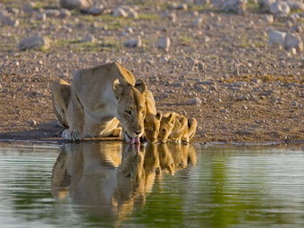 Lioness and Cubs drinking Kruger National Park